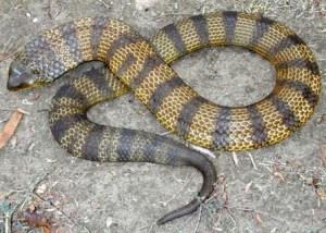 Australian tiger-snake