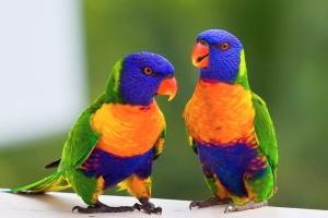 Rainbow-Lorikeet-Australian-Parotts