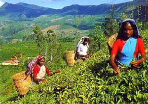 1107772812_sri_lanka_tours_tea_plantations01
