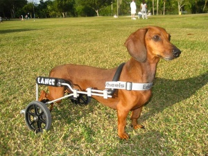 dog_on_wheels