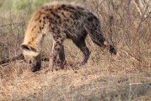 Hyena 4 (1)